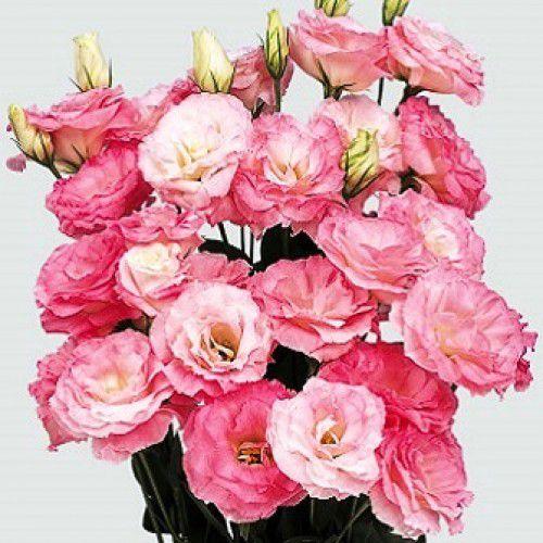 Lisianto Borealis Misty Pink