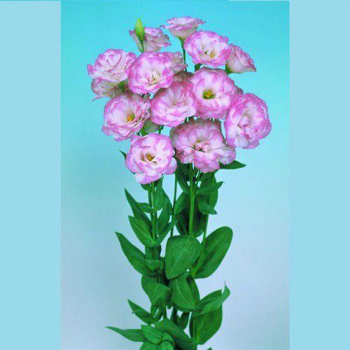 Lisianto Borealis Pink Picotee