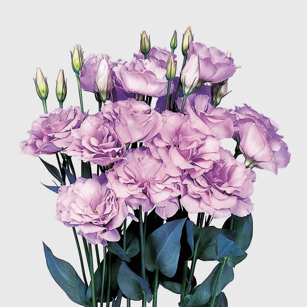 Lisianto Echo Lavender (lisianthus)