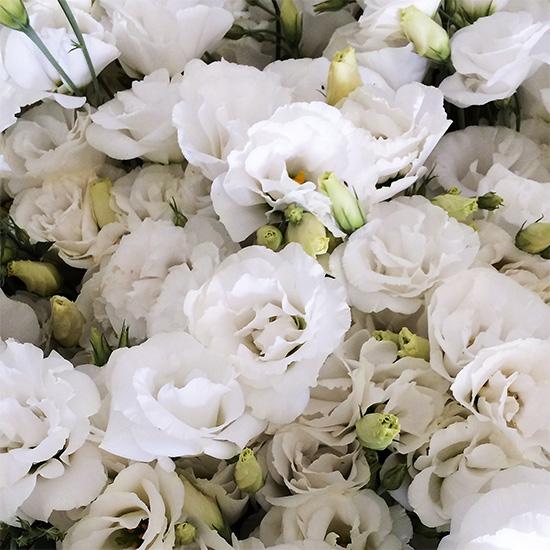 Lisianto Echo Pure White (lisianthus)