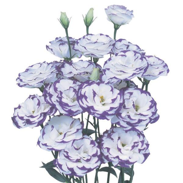 Lisianto Excalibur Blue Picotee (lisianthus)