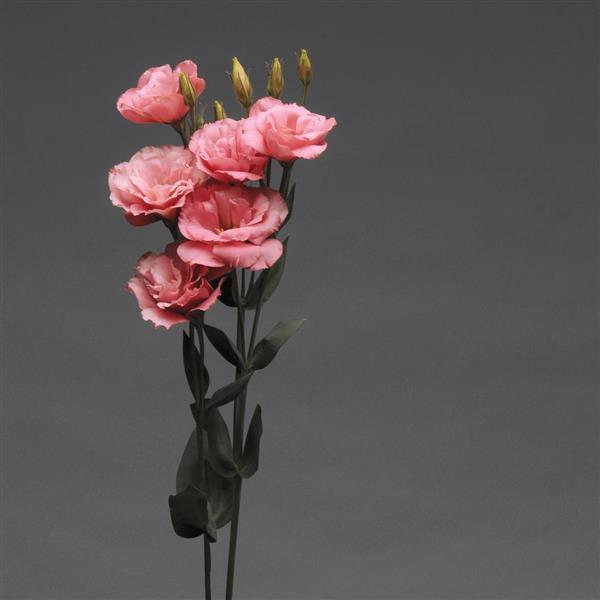 Lisianto Flare Deep Rose (lisianthus)