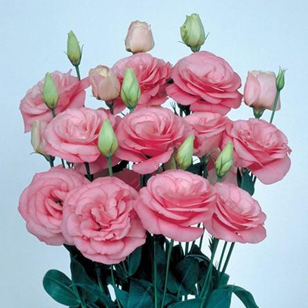 Lisianto Mariachi Pink (lisianthus)