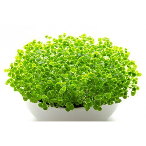 Manjericão (Microverdes)