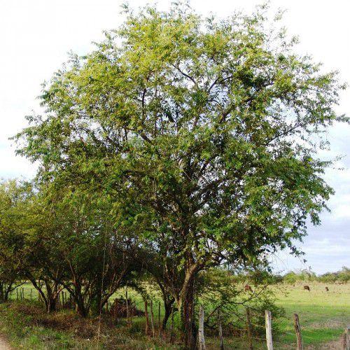 Mutambo (Chico-magro)