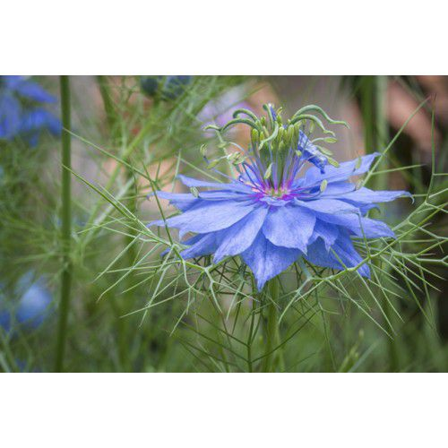 Nigela Damascena Azul