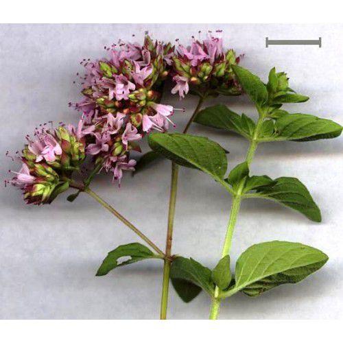 Orégano (Flor roxa)