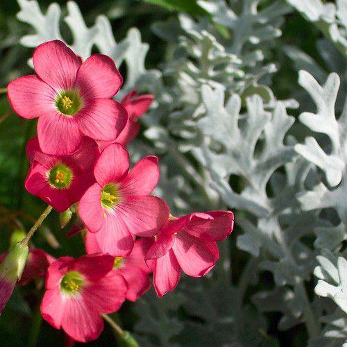 Oxalis Iron Cross (Trevo de 4 folhas)