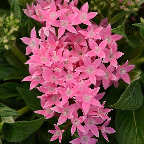 Pentas Lucky Star Pink