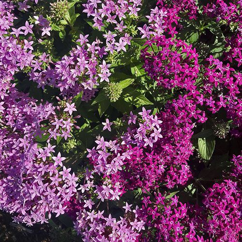 Pentas Lucky Star Violet