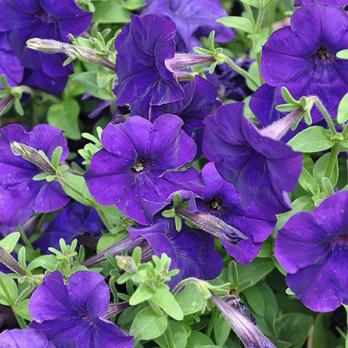 Petúnia Pendente Plush Blue