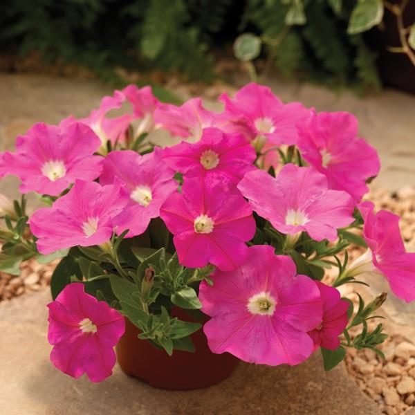 Petúnia Pendente Plush Deep Pink