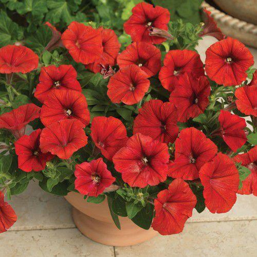 Petúnia Pendente Plush Red