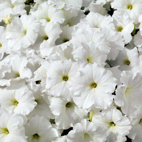 Petúnia Pendente Plush White