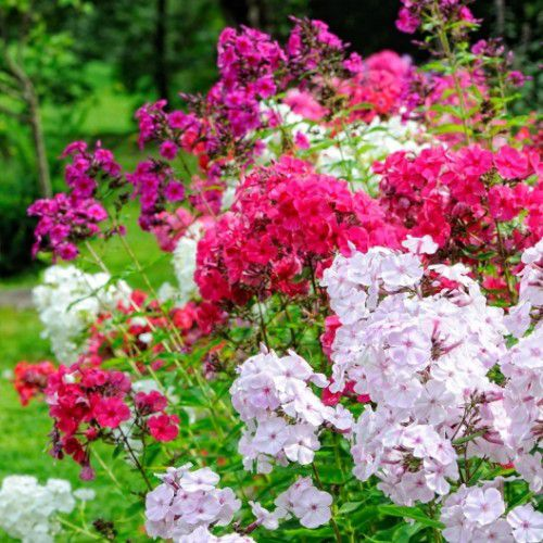 Phlox Drummondii Alto Mix