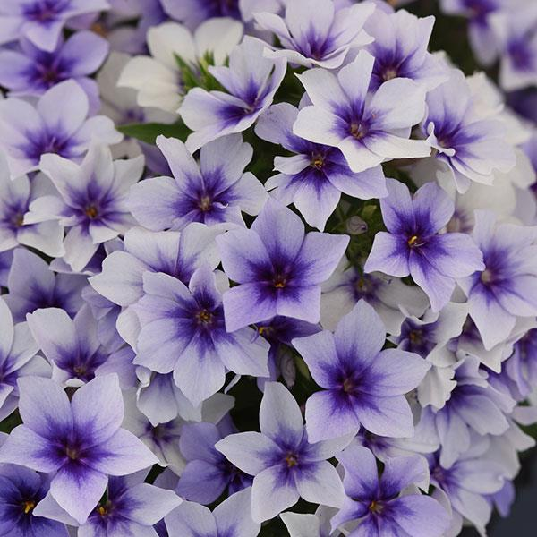 Phlox Ethnie Mix