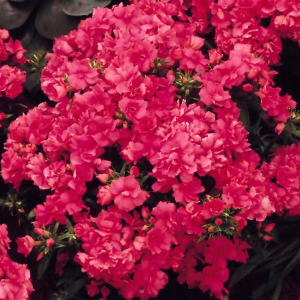 Phlox Promise Double Mix