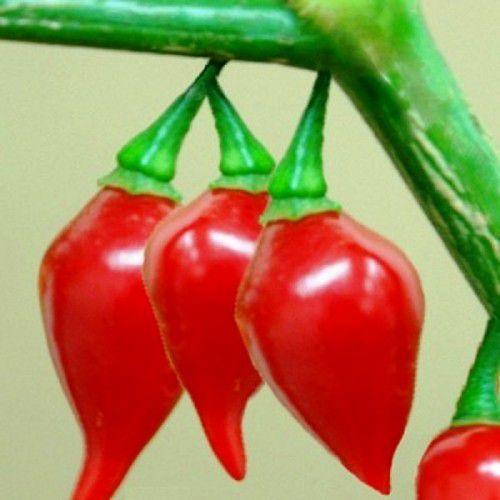 Pimenta BRS Moema (Biquinho)