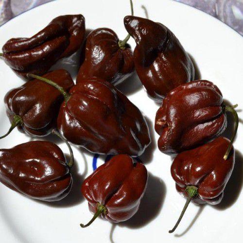 Pimenta Híbrida Hot Chocolate