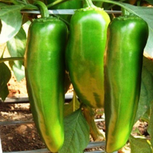 Pimenta Híbrida Jupira Jalapenho