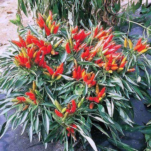 Pimenta Ornamental Etna