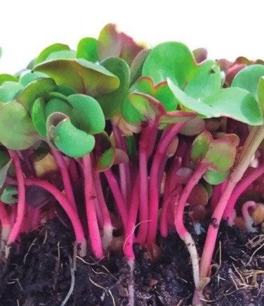 Rabanete Kiran Vermelho Coral (Microverdes)