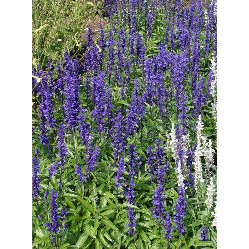 Sálvia Victoria Blue