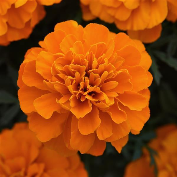 Tagetes Bonanza Deep Orange