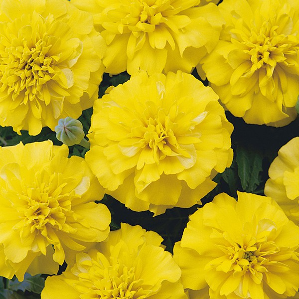Tagetes Bonanza Yellow