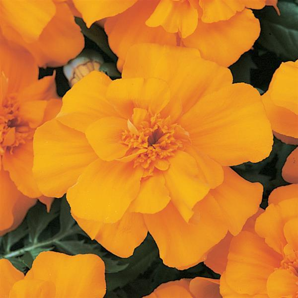 Tagetes Durango Orange