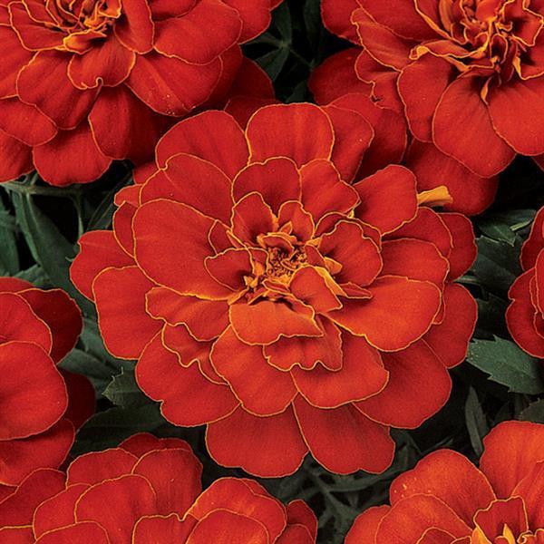 Tagetes Durango Red