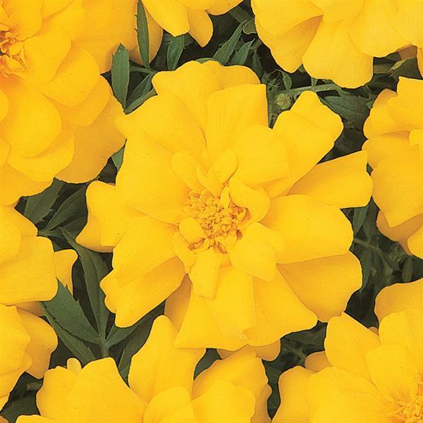 Tagetes Durango Yellow