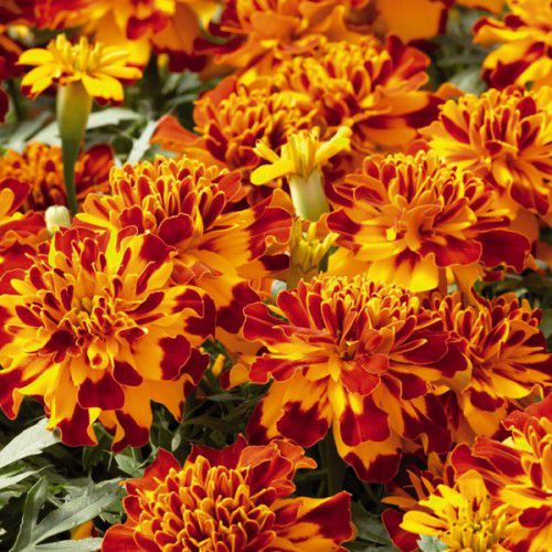 Tagetes Safari Mix