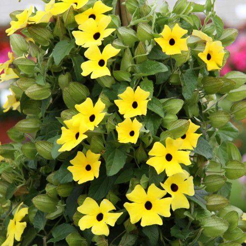 Thumbergia Trepadeira Amarelinha (96 sementes)