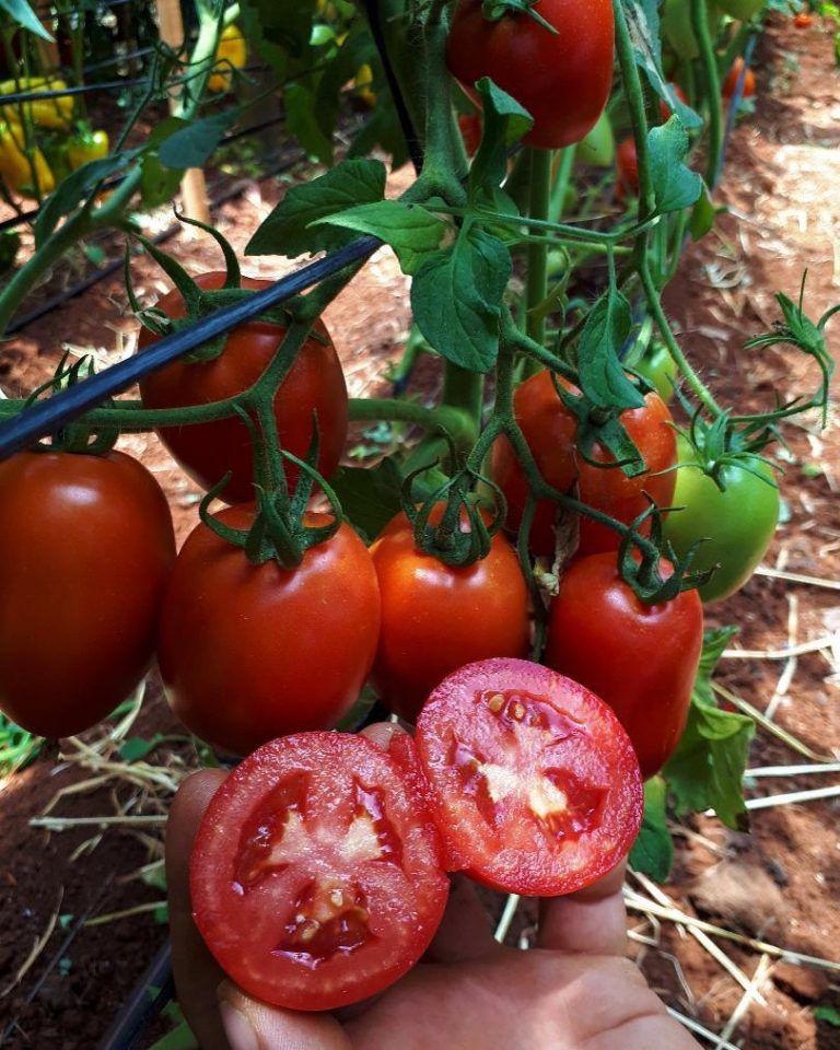Tomate Italiano Híbrido Imbuia F1