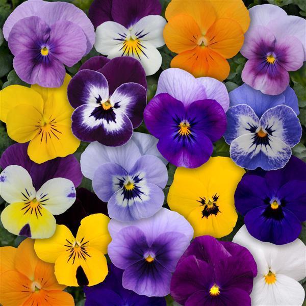 Viola Sorbet Mix