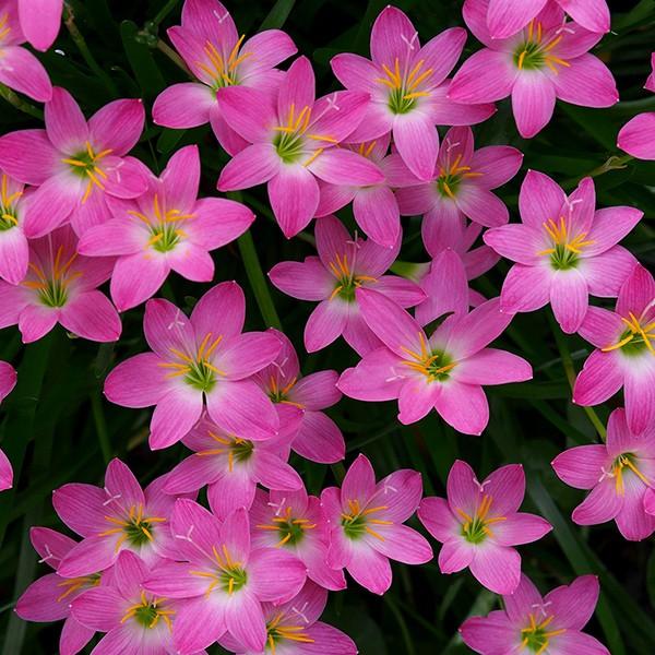 Zephyranthes rosea Rosa
