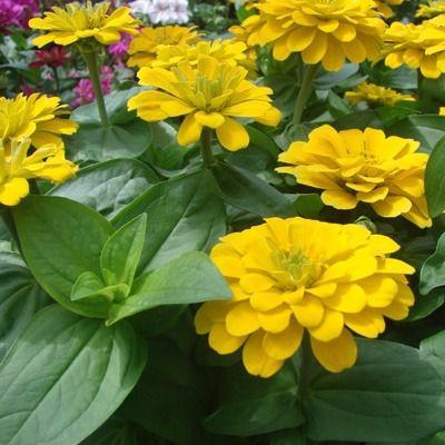 Zinia Gigante Amarela