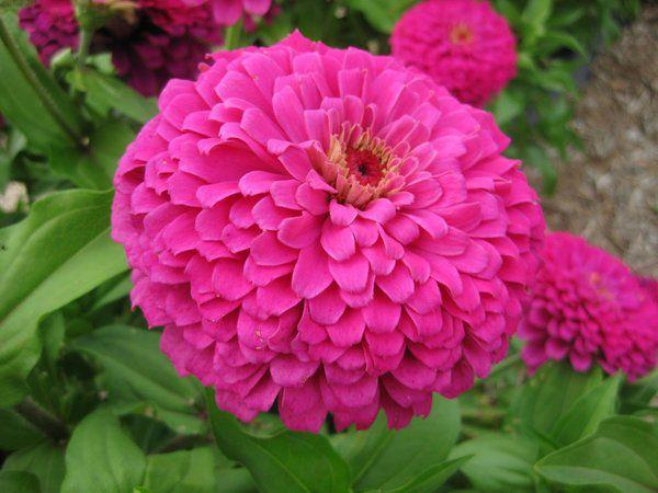 Zinia Gigante Rosa