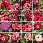 Kit 10 Mudas de Rosa do Deserto
