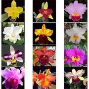 Kit 16 Mudas de Orquídeas Cattleya (plug)