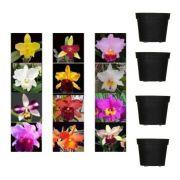 Kit 16 Mudas Orquídeas Cattleya (plug) + Brinde Vasos Pt 7
