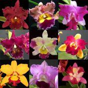 Kit com 9 mudas de Orquídea Cattleya Híbrida