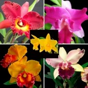 Kit Especial Cultivo – 10 Mudas Orquídeas Cattleya + Materiais de Cultivo