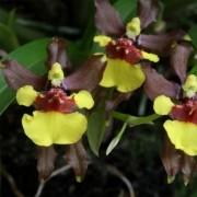 Orquídea Alatiglossum croesus