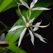 Orquídea Anacheilium allemanoides