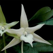 Orquídea Angraecum sesquipedale