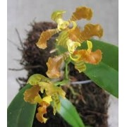 Orquídea Baptistonia widgrenii
