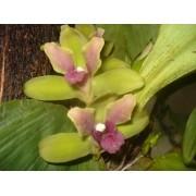 Orquídea Bifrenaria inodora