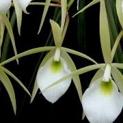 Orquídea Brassavola tuberculata